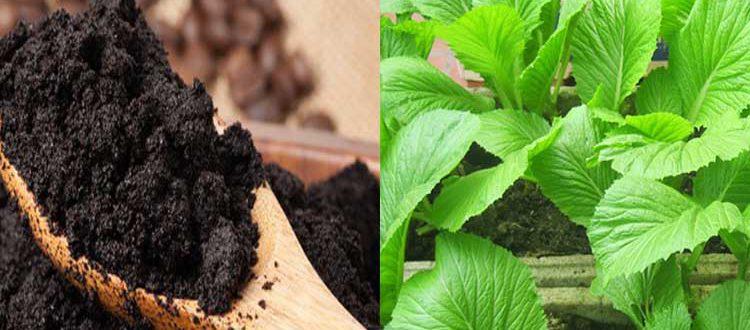 Cách sử dụng bã cà phê để làm phân bón cho rau sạch tại nhà đúng cách
