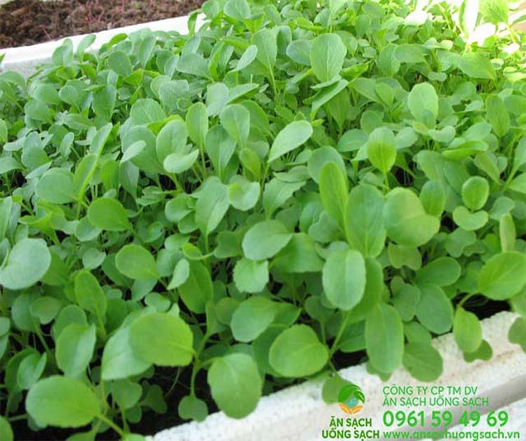 Hướng dẫn cách trồng và chăm sóc rau cải ngọt trong thùng xốp