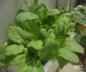 Rau cải sạch không thuốc trừ sâu