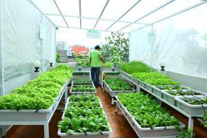 Vườn rau sạch trên sân thượng tại nhà