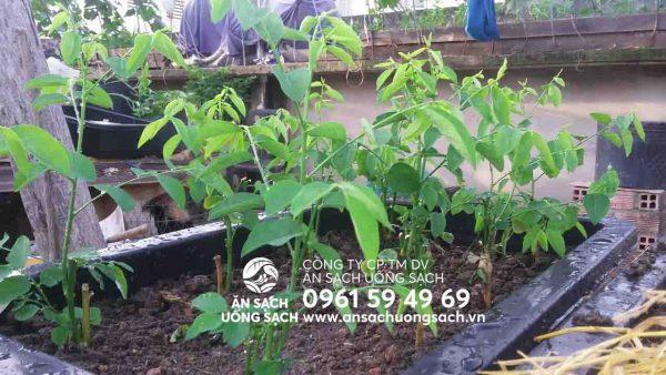 Cách trồng rau ngót trong thùng xốp tại nhà