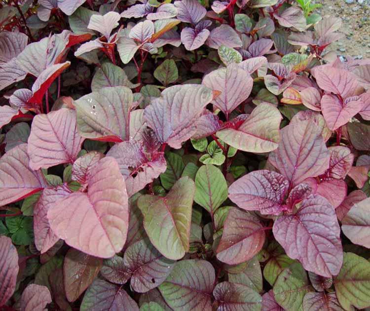 Hướng dẫn cách trồng rau dền đỏ trong thùng xốp đơn giản tại nhà