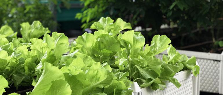 Cách làm vườn rau sạch