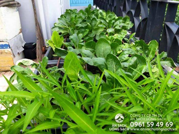 Chất lượng rau luôn được kỹ sư chăm vườn đảm bảo