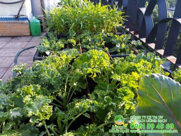 Đám cải kale rất được chị và gia đình ưa dùng