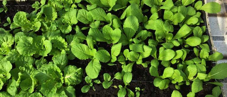 Đạm tự nhiên cho rau hữu cơ