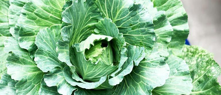 Lợi ích của rau bắp cải