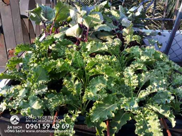 Luống cải kale của khu vườn