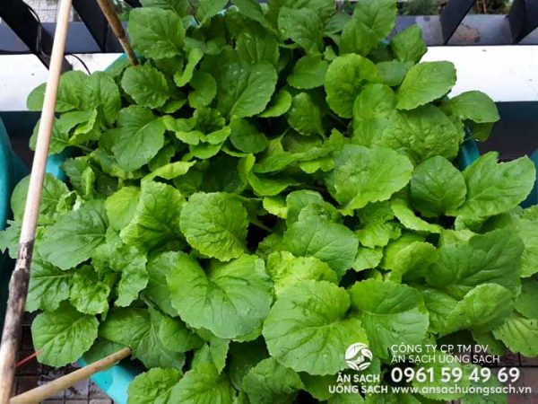 Luống cải trông rất tươi ngon