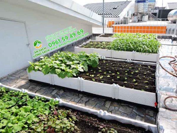 Một góc khác của vườn rau