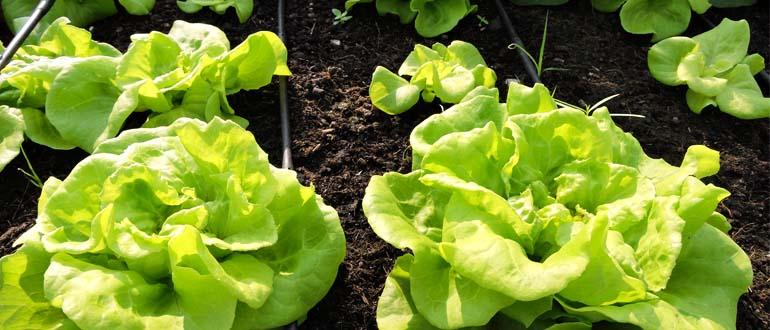 Nguyên tắc trồng rau hữu cơ