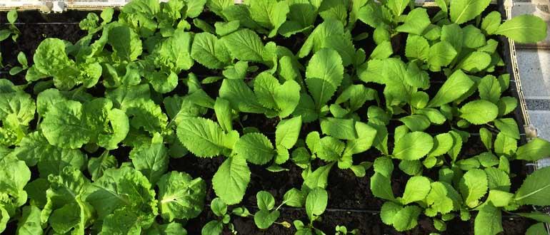 Cách gieo rau cải