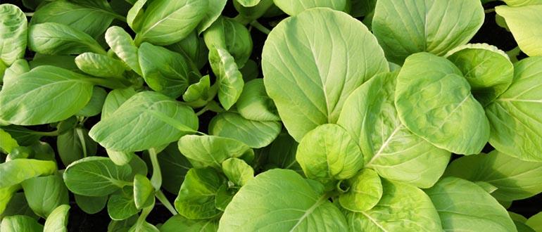 Cách trồng cải bó xôi
