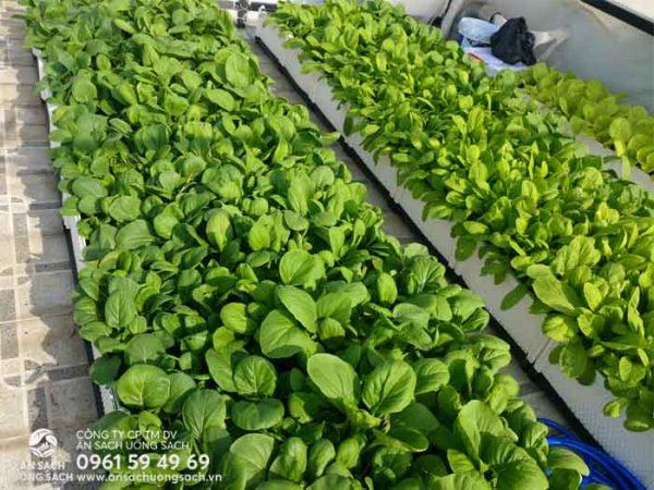 Luống rau chất lượng do kỹ sư của Ăn Sạch Uống Sạch trồng và chăm sóc