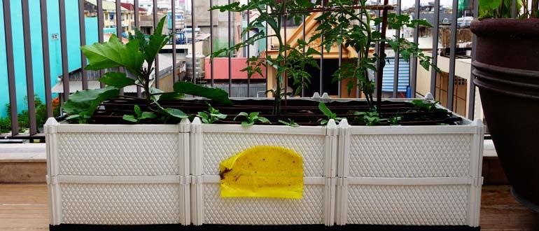 Vườn rau xanh hạn chế sâu bọ nhờ bẫy côn trùng