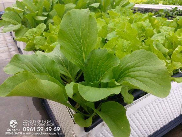 Các giống rau đều là những giống rau đạt chất lượng cao và không bị biến đổi gen