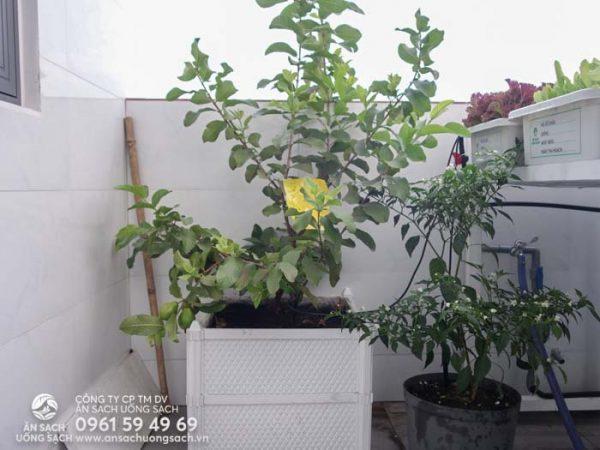 Cây ổi và cây ớt trong khu vườn