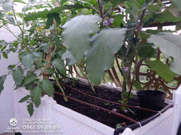 Chậu ghép trồng cà tím và cà chua trong khu vườn