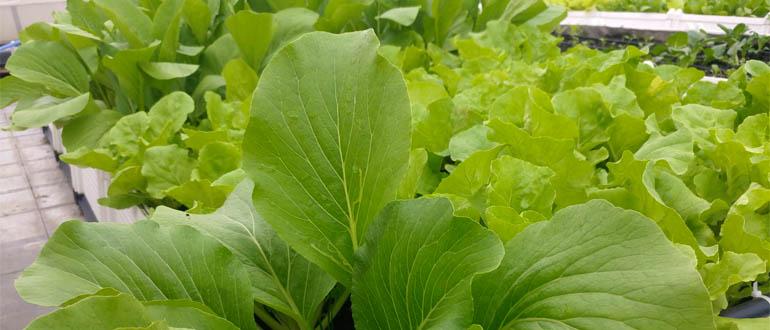 Vườn rau hữu cơ