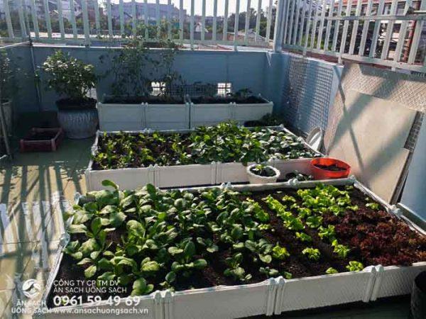 Các luống rau đã dần cho thu hoạch