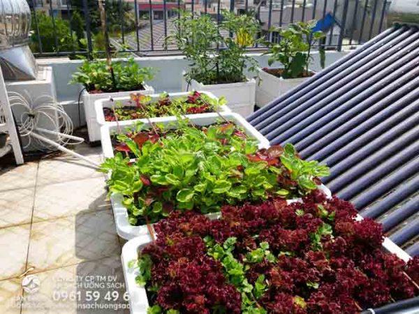 Xà lách tím và dền tía như tô điểm thêm cho khu vườn